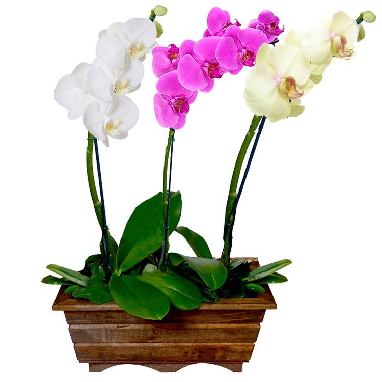 Jardim Phalaenopsis Colorida