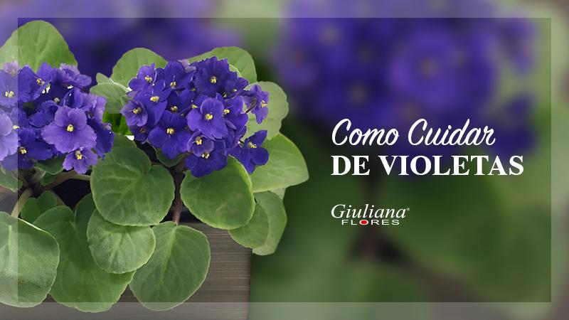 Cuidar de Violetas  Saiba como cuidar delas  Blog Giuliana Flores