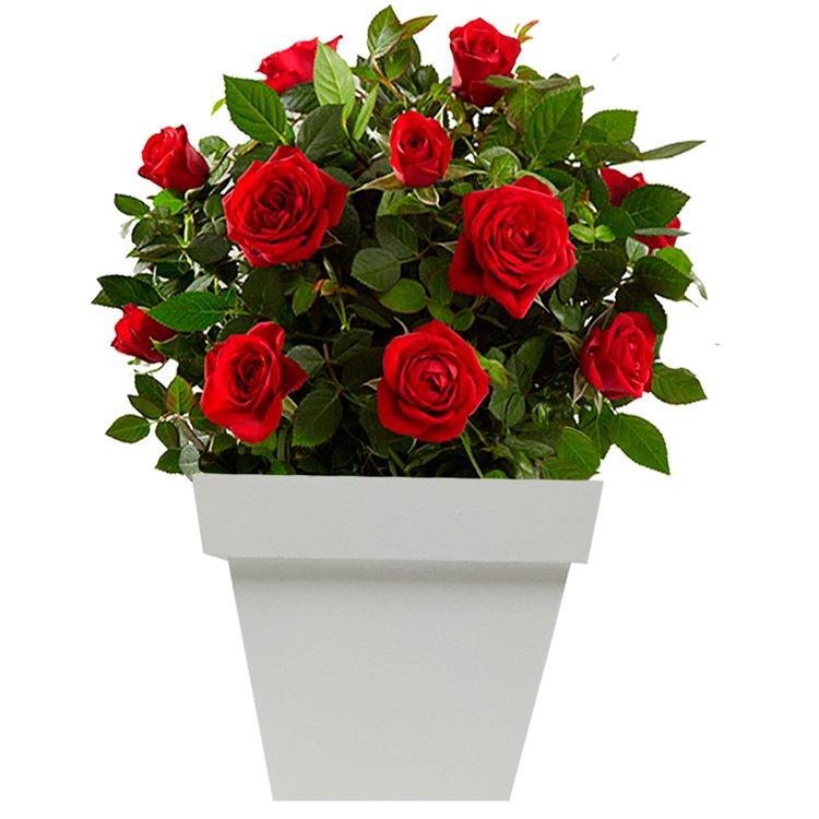 Muda De Mini Roseira 3 Mudas De Rosa Exclusivo Só Aqui  R$ 39,90 em
