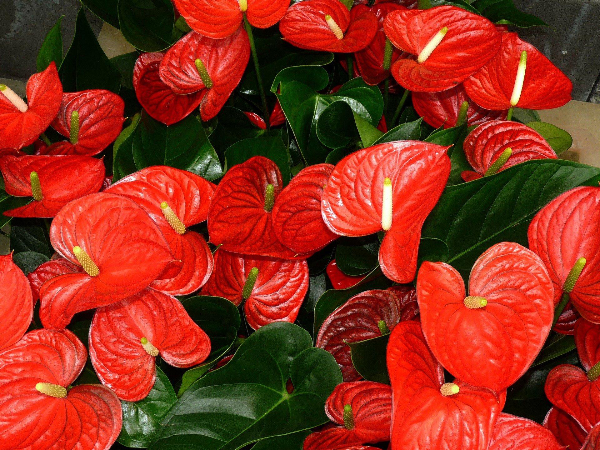 flores-tropicais-anturio