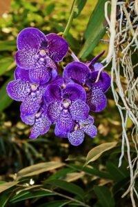 Tipos de orquídeas - vandas