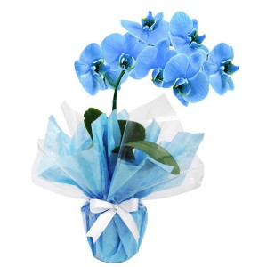 Orquidea-Azul