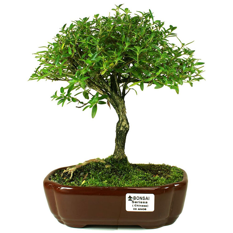 bonsai-serissa