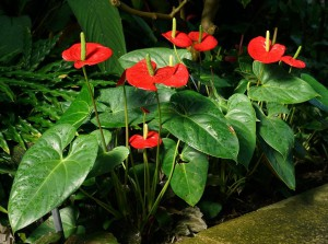 Antúrios também são plantas de sombra