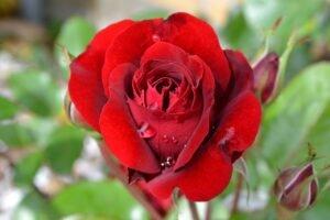 Saiba como plantar rosas