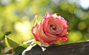Veja como plantar rosas e descubra a temperatura ideal para elas