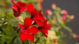 geranio flor medicinal