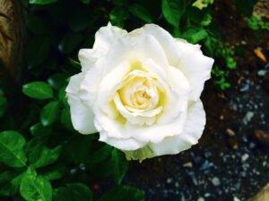 rosas brancas flores medicinais
