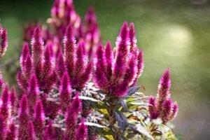 calosia-flores