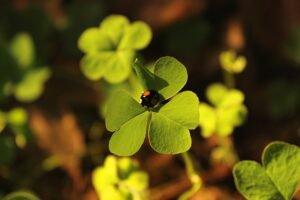 cultivo-trevo-quatro-folhas