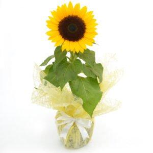 Flores para Homens: Girassol Plantado