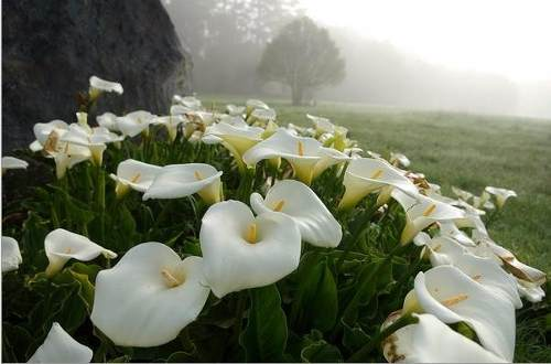 Copo de leite conhe a mais sobre esta linda flor blog for Como se planta la lavanda