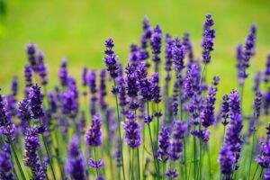 Veja quais plantas que exalam perfume