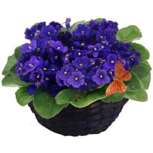 violetas-roxa - violetas