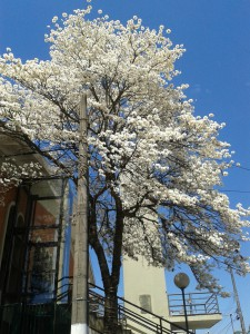 Árvore Ipê Branco