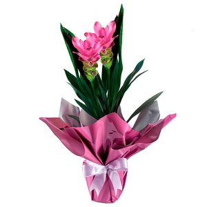 Curcuma Pink Plantada