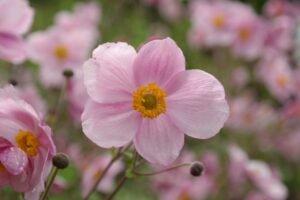 Anêmonas Silvestres Rosas