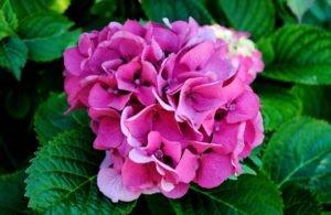 hortensia-de-sao-jorge-flores-que-nao-precisam-de-muito-cuidado