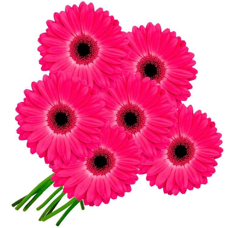 Gérberas Pink de Corte
