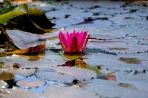 flor de lótus na água