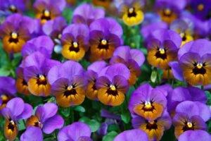 cuidar-das-violetas-close-flor
