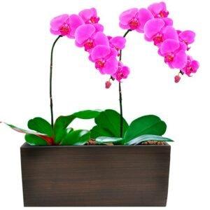 lindas-phalaenopsis-pink - arranjo de orquídeas