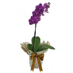 mini-orquidea-rara-lilas - arranjo de orquídeas