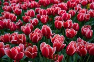 significado de tulipa