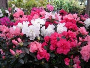 Conheça as Mais Lindas Flores Para Alegrar Sua Casa - Azaleia