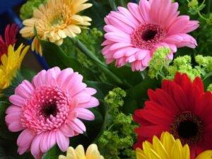 Conheça as Mais Lindas Flores Para Alegrar Sua Casa - Gérbera