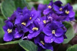 Conheça as Mais Lindas Flores Para Alegrar Sua Casa - Violeta