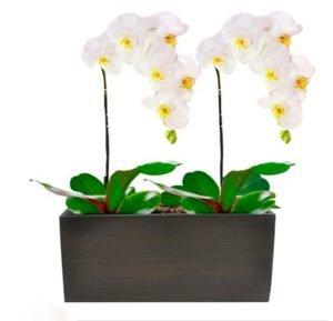 Linda Phalaenopsis Branca