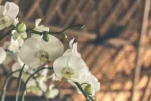 Orquídeas Para Decoração — Orquídeas Brancas