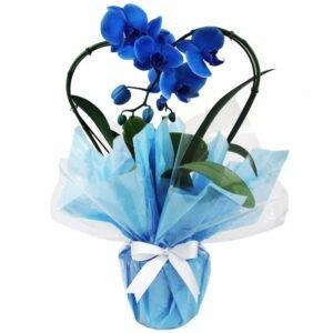 Orquídea Phalaenopsis Coração Azul