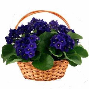 Cesta Premium de Violetas Roxas