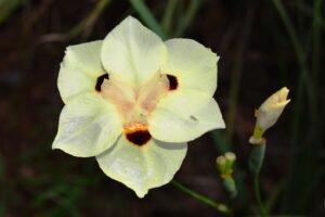 flor branca de moreia