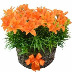 Jardim de Lírios Orange