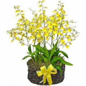Orquídeas Chuva de Ouro