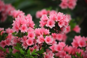 azaleias flores para casa