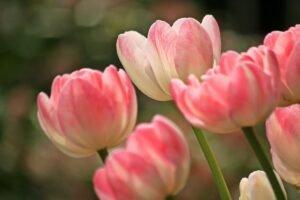 close em botões de tulipas