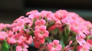 flor da fortuna rosa
