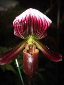 pétalas orquídeas raras da malásia